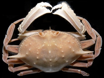Mursia gaudichaudi     (Laterally spined crab)    Description:  Moderately common and quite similar to C. barnardi with which it may be confused.