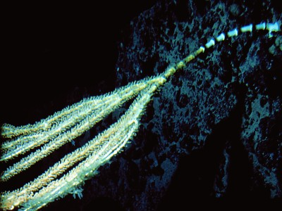 Isadella sp.   (Bamboo coral)    Description:  Rarely recorded but deep in fjords and off shore seamounts.
