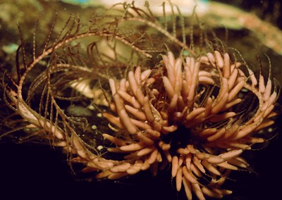 Antedon cf. petasus   (Brooding feather star)    Description:  Two records in northern BC fjords.