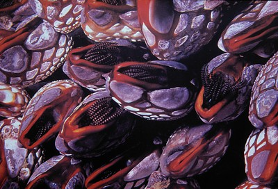 Pollicipes polymerus   (Pacific goose barnacle)    escription:  This species is common but this particular population is.