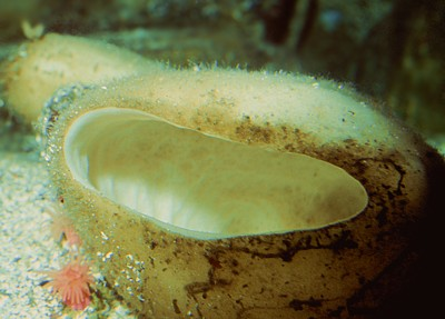 Rhabdocalyptus dawsoni   (Boot sponge)    Description:  Example of one of the hexactinellid sponges.