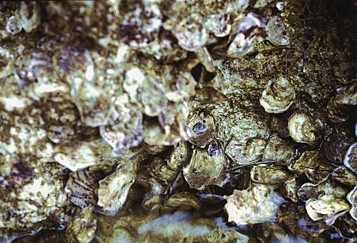 Ostrea conchaphila   (Native oyster)    Description:  Example of species which commercially extirpated; dense populations at a few localities