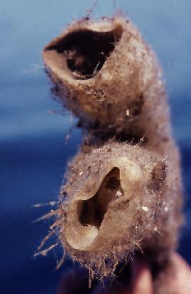Rhabdocalyptus dawsoni 1.jpg