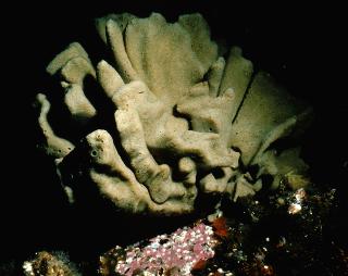 Neoesperiopsis digitata  2