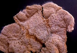 Family Euplectellidae   Nubicaulus careyi