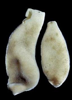 Sycandra sp. cf utriculus.jpg