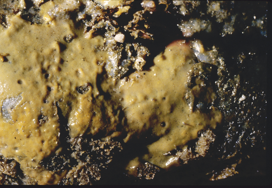 Hamacantha (Zygherpe) hyaloderma.jpg