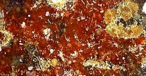 Hymedesmia cf. consanguinea.jpg