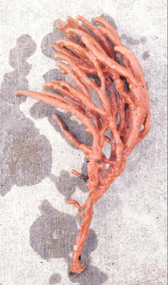 Clathria (Clathria) prolifera.jpg
