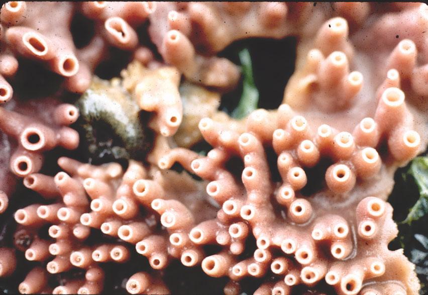 Haliclona (Haliclona) sp A of Hartman 1975_2.jpg