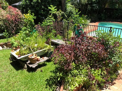 Our suburban backyard beaming with edible greens, papaya trees, bananas, citrus, pineapple, turmeric & ginger