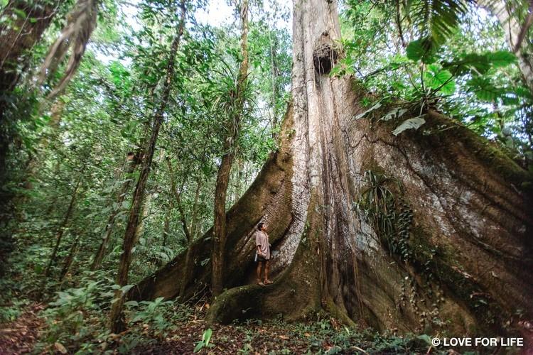 Korzenie drzewa kapokowego - Ceibo w północno-wschodniej części ekwadorskiej Amazonii.
