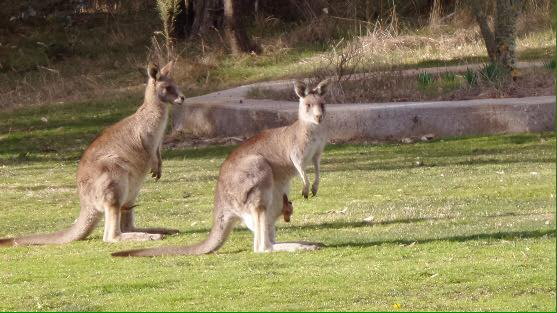 The kangaroos enjoyed the concert last year :)