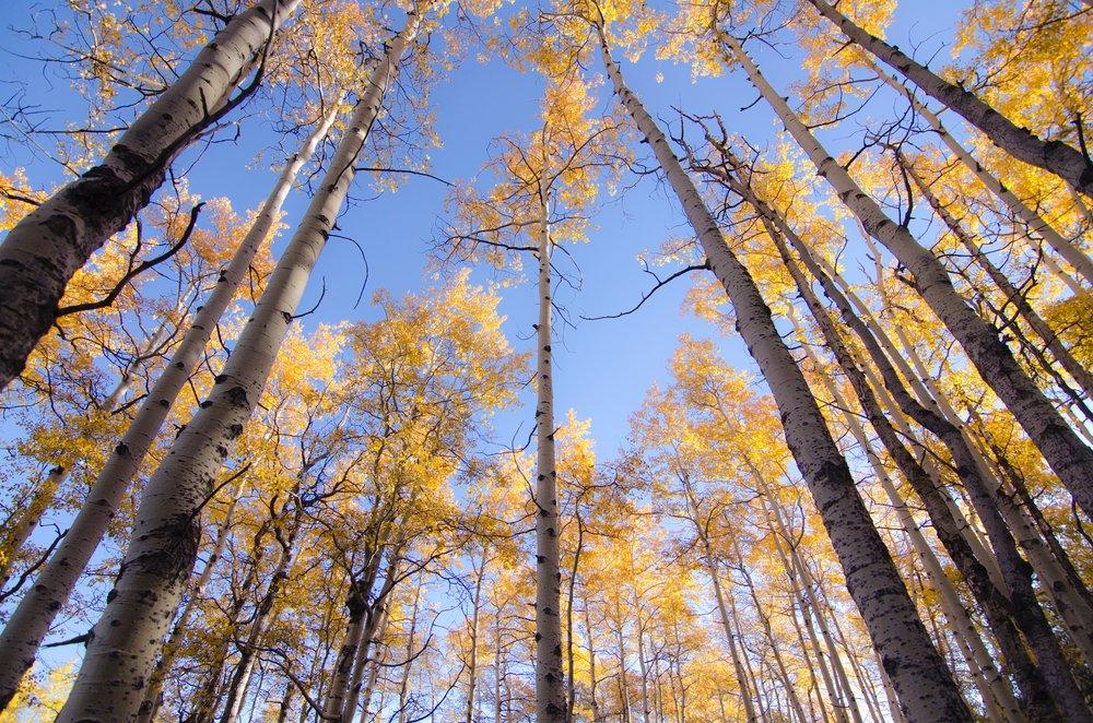 tall-trees.jpg