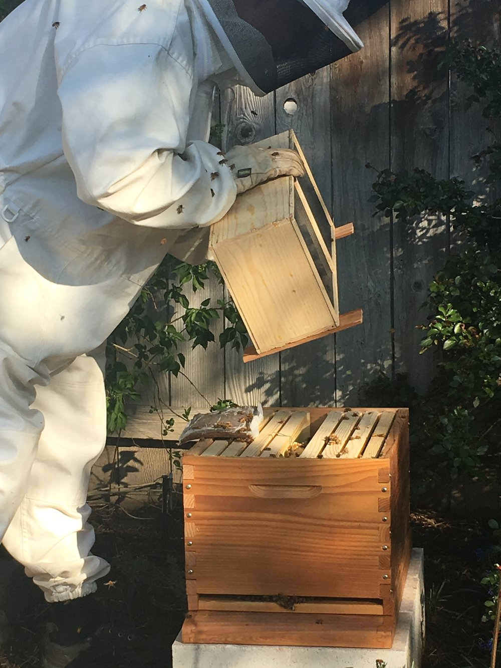 "Installing a ""package"" of bees."