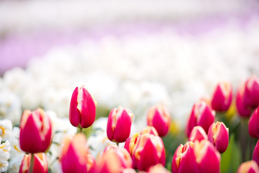 Spring_Bulbs_Bernadette_Meyers--28.jpg