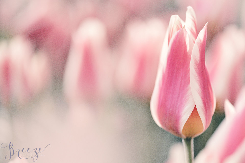 Elegant_Pink_Tulip_Keukenhof.jpg
