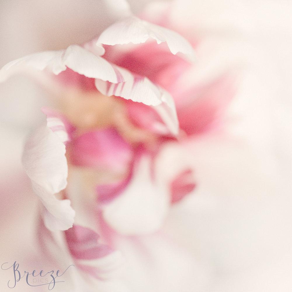 Pink_tulip_petal_detail_1.jpg