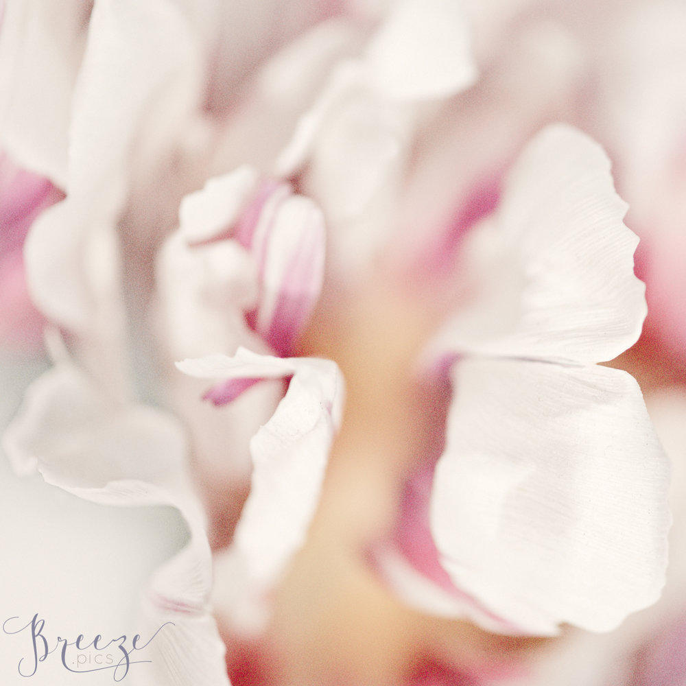 Pink_Tulip_Petal_Detail_2.jpg