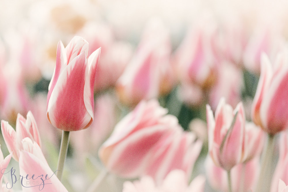 Pink_Tulips_Growing_Keukenhof.jpg