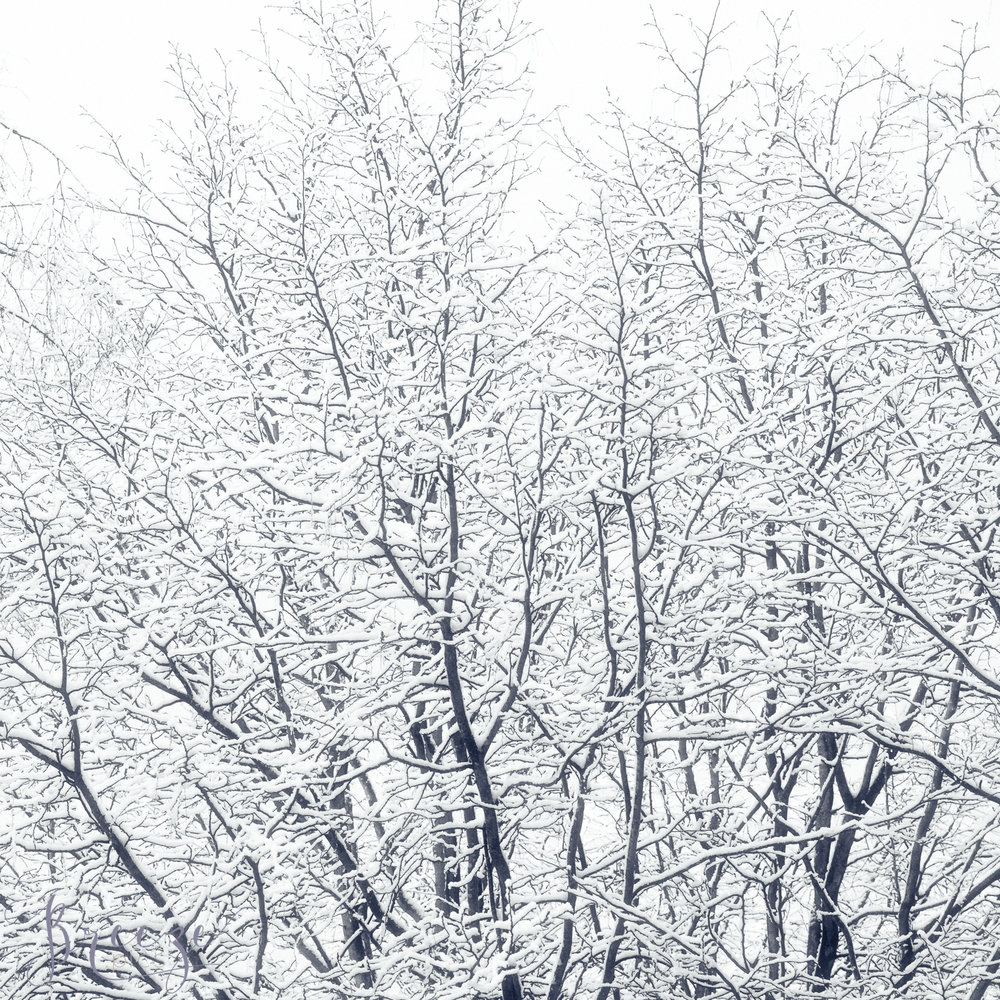 Snow-covered-branches.jpg