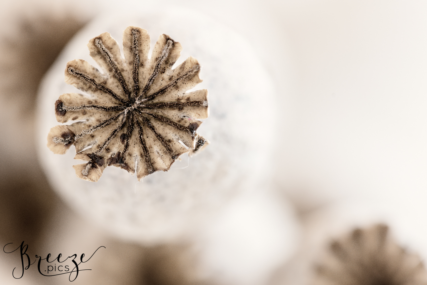 Macro Poppy Seedpod Study In Colour 5 Limited Edition Print