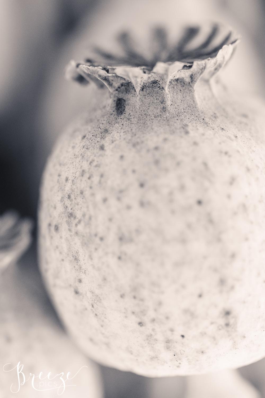 Single_Poppy_Seedpod_BW.jpg