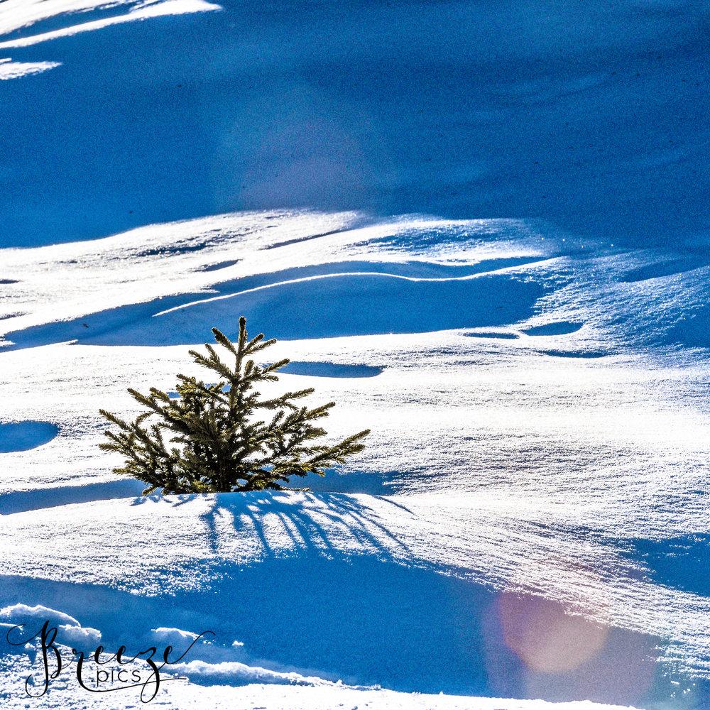 Sapling_in_snow.jpg