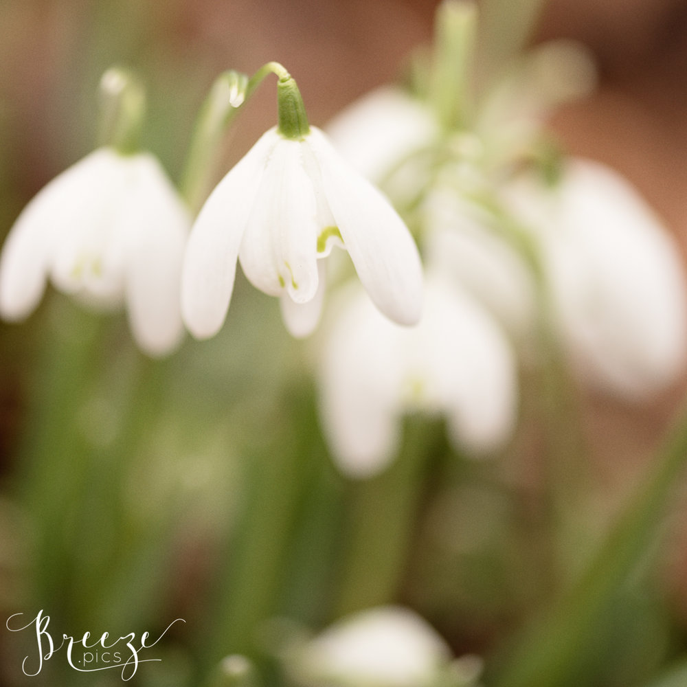 Snowdrops_in_the_woods.jpg