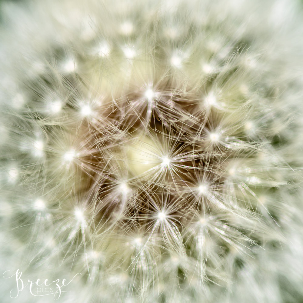 dandelion_close_up.jpg