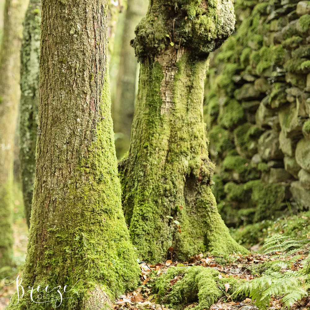Mossy Tree Trunks.jpg
