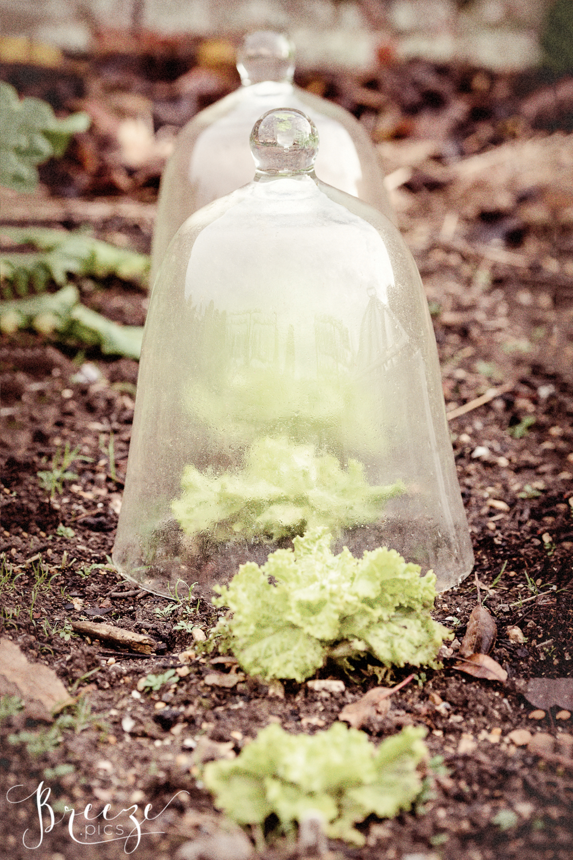 Lettuce_garden_cloches.jpg