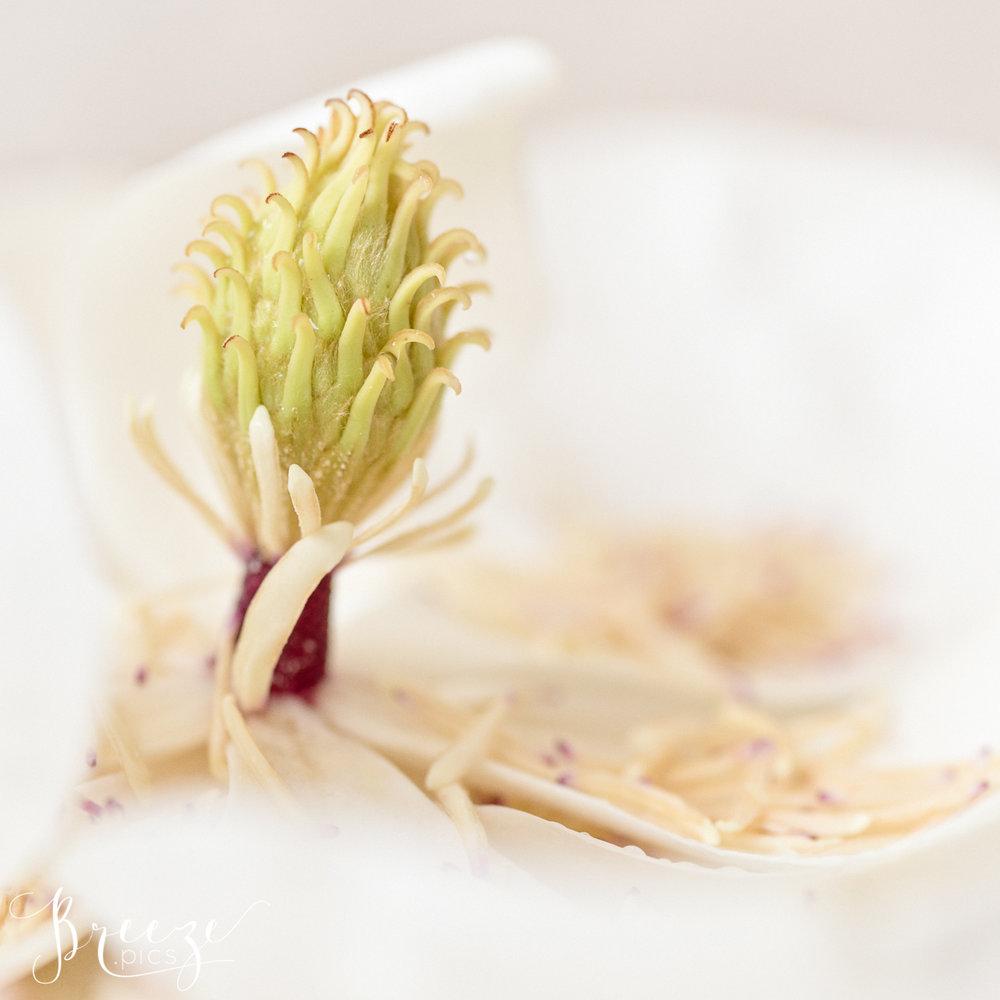 Magnolia_stamen_study_2.jpg