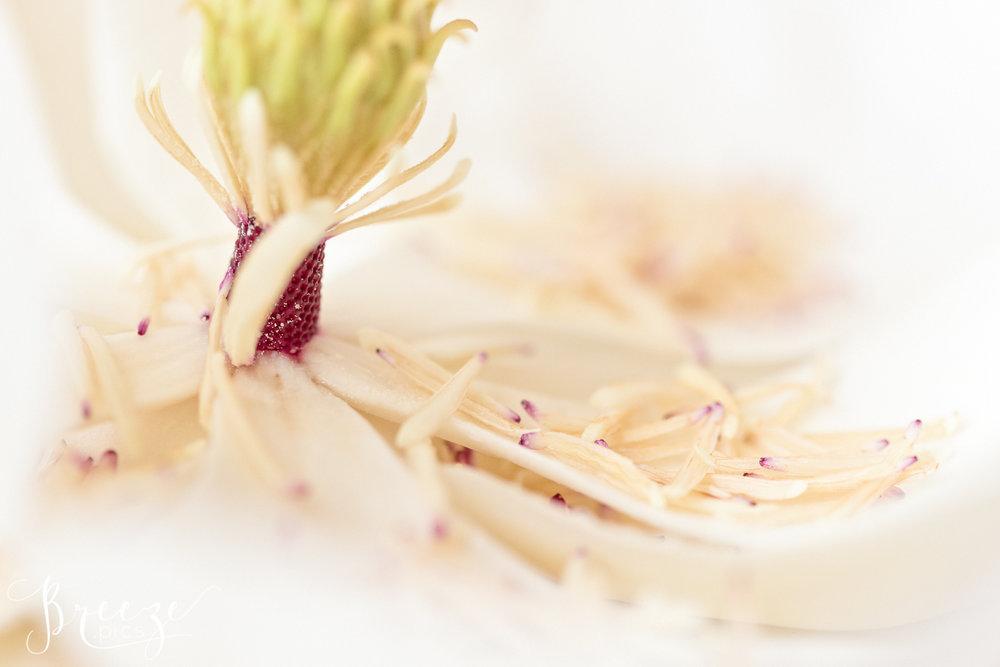 Magnolia_stamen_study_3.jpg