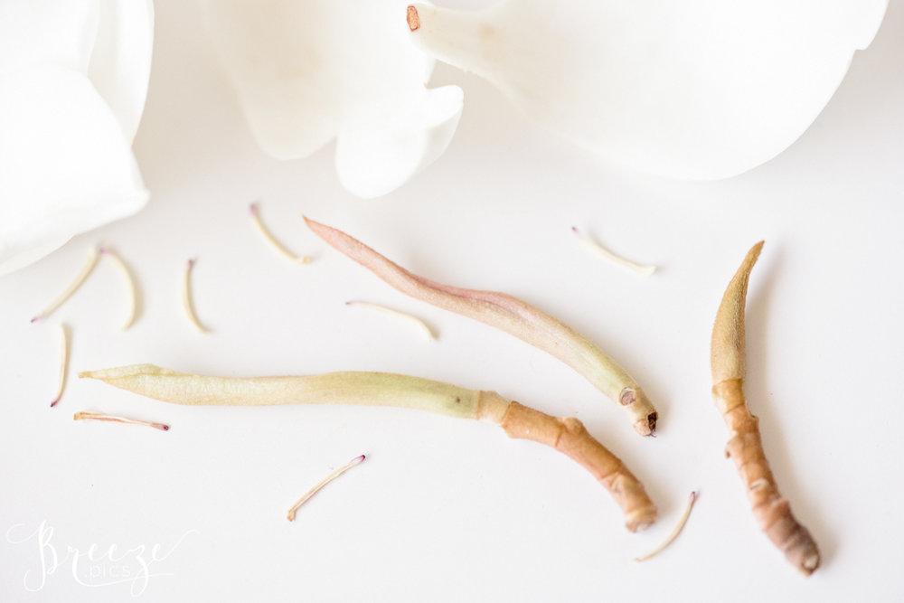 Magnolia_flower_parts_study_1.jpg