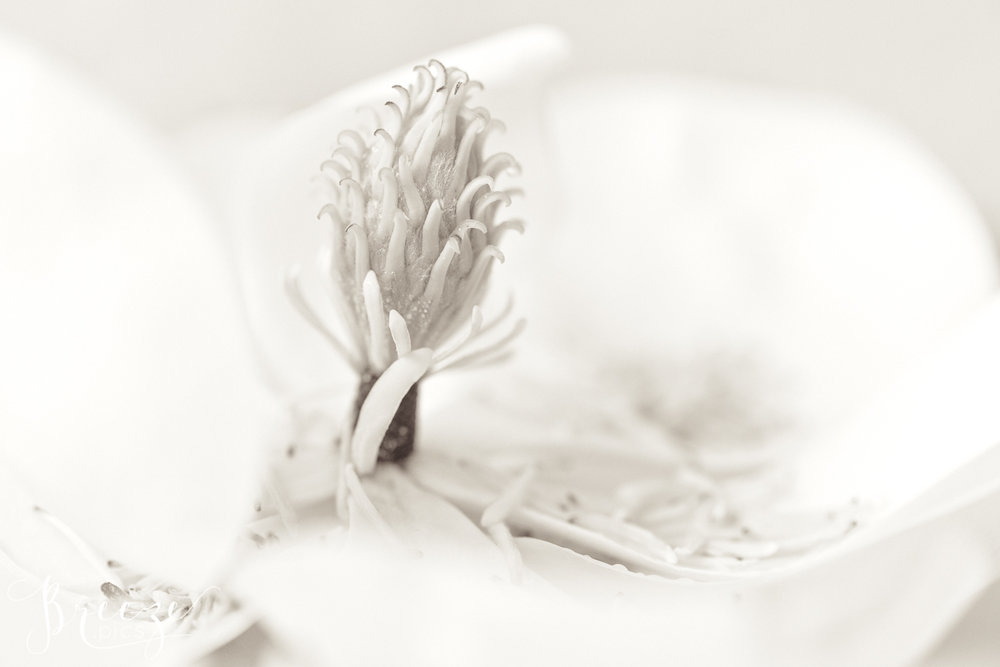 Magnolia_stamen_study_2-Ed.jpg