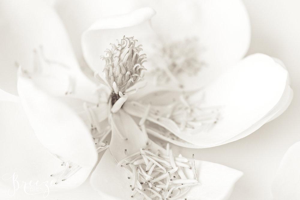 Magnolia_still_life_study_2-Ed.jpg