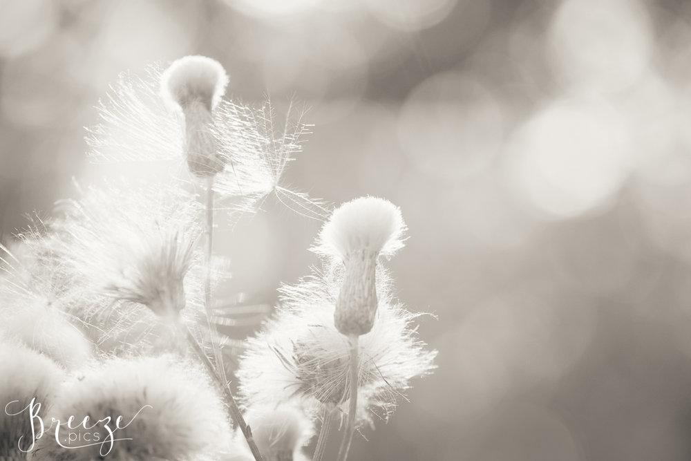 Wispy_Seeds_1.jpg