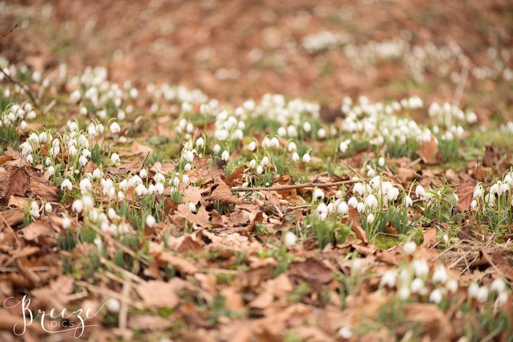 Snowdrops-2447-Ed.jpg