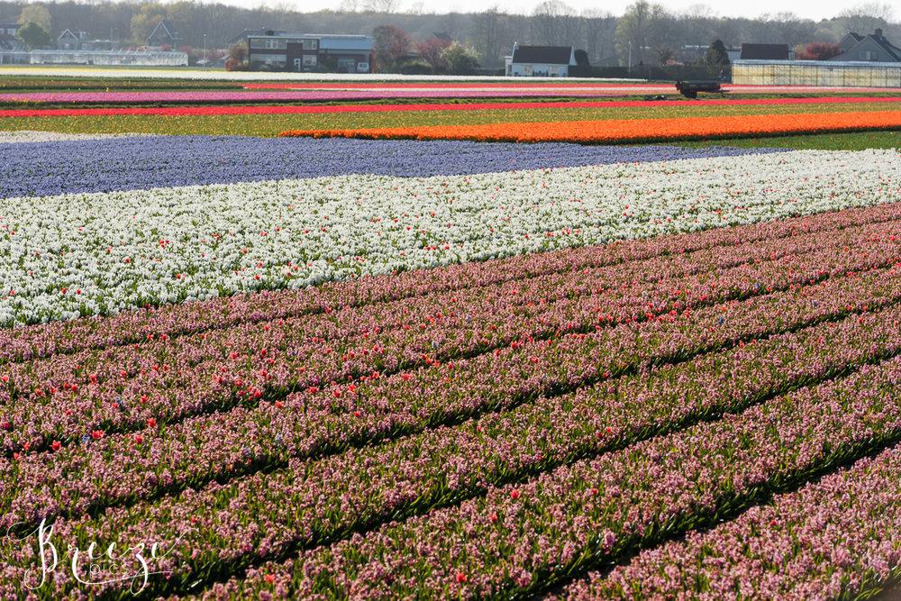 Tulip Fields near Keukenhof Gardens, Netherlands, Holland, Breeze Pics, Bernadette Meyers