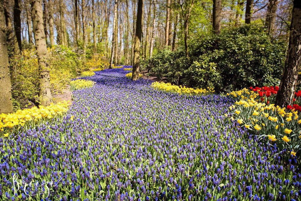 Hyacinths and Flowers in Keukenhof Gardens, Netherlands, Holland, Breeze Pics, Bernadette Meyers