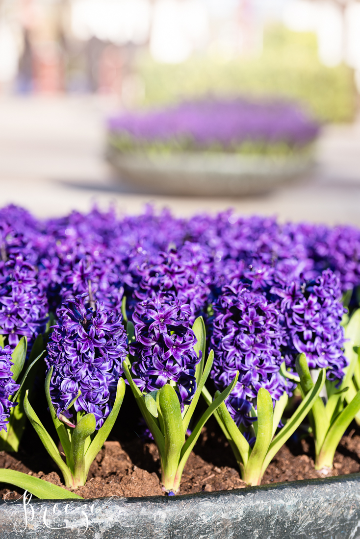 Hyacinths in Keukenhof Gardens, Netherlands, Holland, Breeze Pics, Bernadette Meyers
