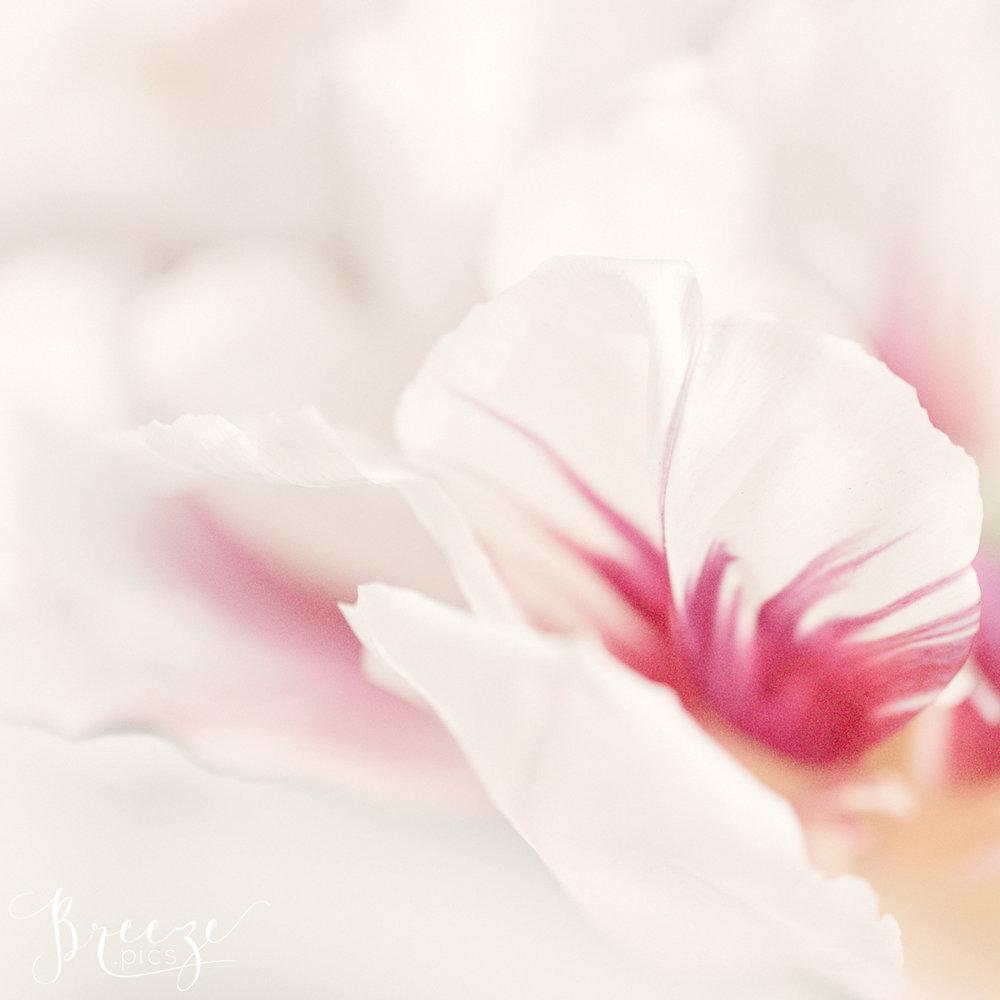 Pink Tulip Macro Detail, Keukenhof Gardens, Netherlands, Breeze Pics, Bernadette Meyers