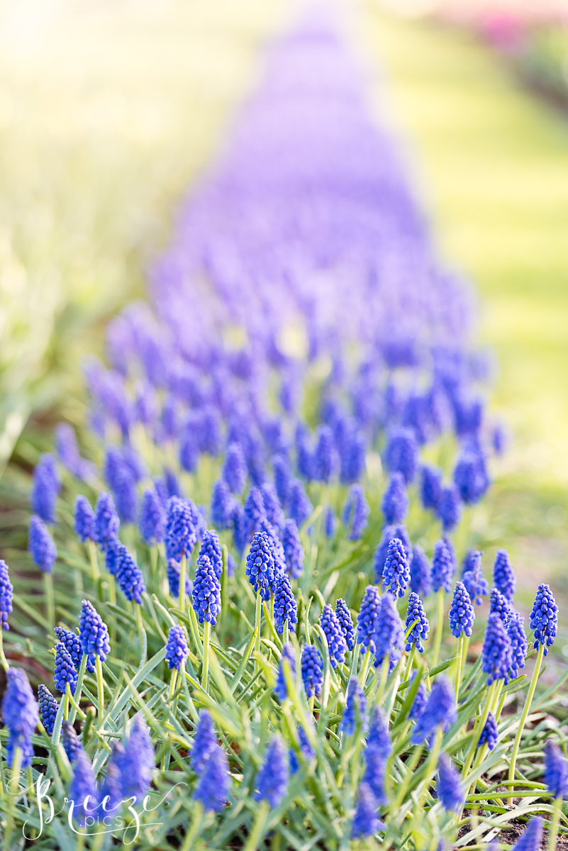 Grape Hyacinth Bed Limited Edition Home Decor Print, Breeze Pics