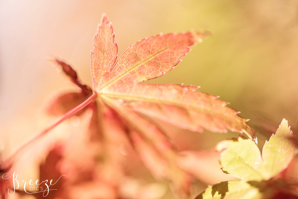 Red leaf nature photograph, fine art limited edition print, breeze pics