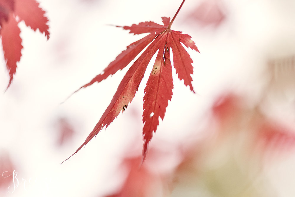 Red Maple Leaf, Nature Photography, Fine Art Limited Edition Print, Bernadette Meyers