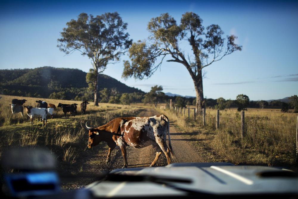 Longhorn Cattle on Queensland's Great Dividing Range, Australia.