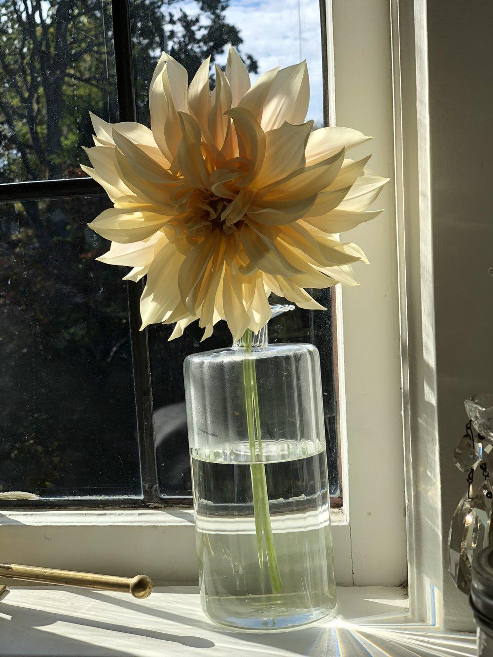café au lait dahlia in vase