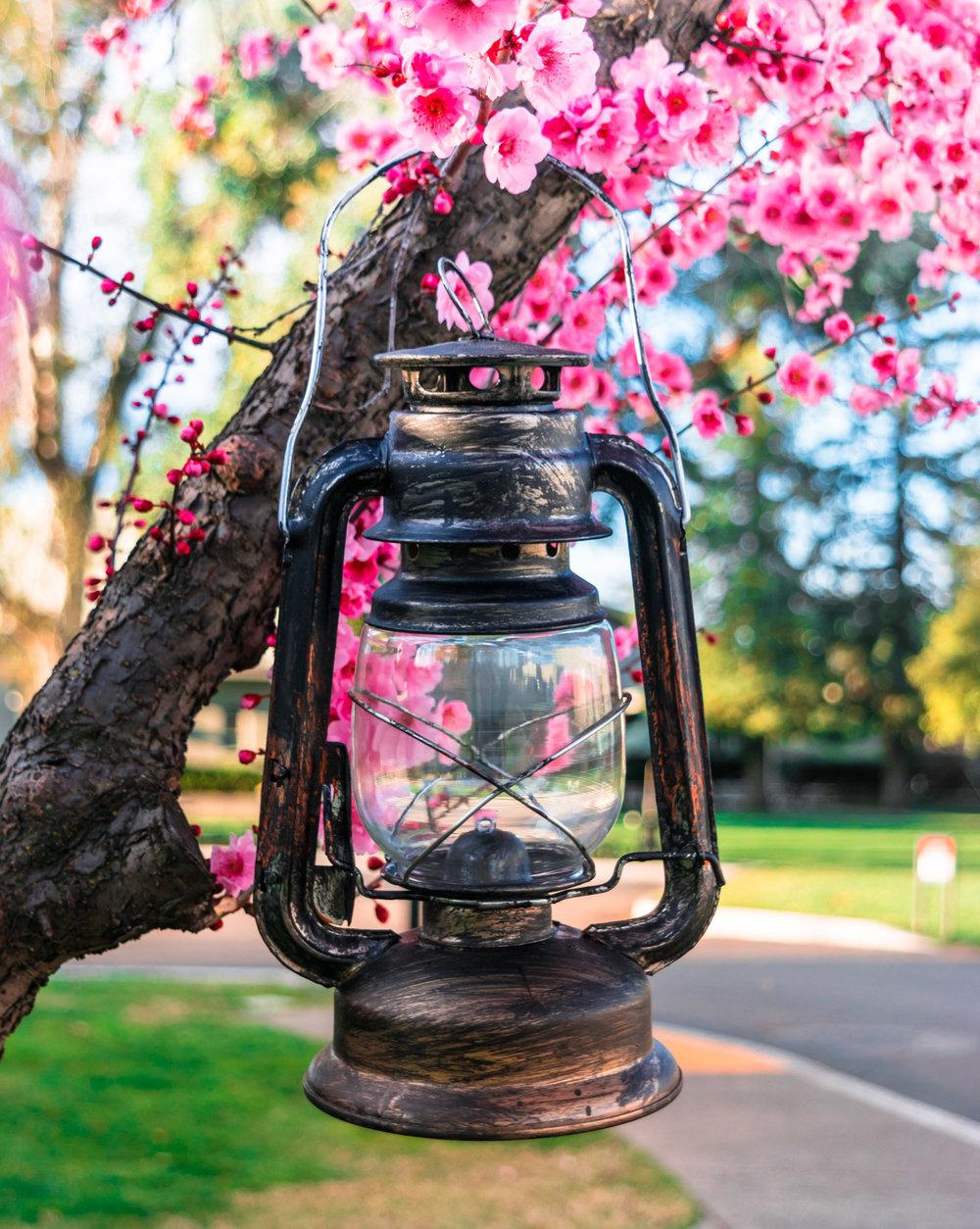plum-blossoms-stockton-california