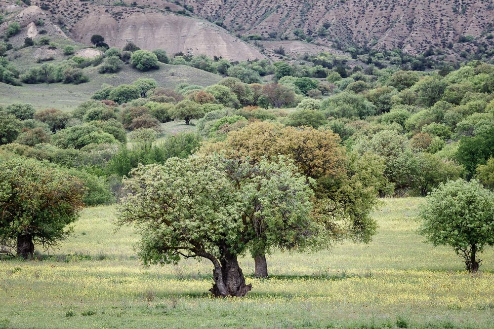 The squat and widely-spaced pistachio trees of Vashlovani that give the area its name; Vashlovani means Apple Orchard which is what these woodlands appear to be from a distance. The fruits are inedible for humans but provide a seasonal feast for resident bears and boars